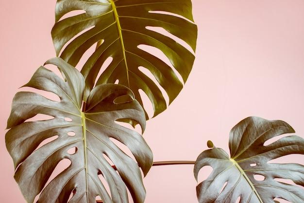 Fond tropical monochrome rose avec des feuilles de monstre.