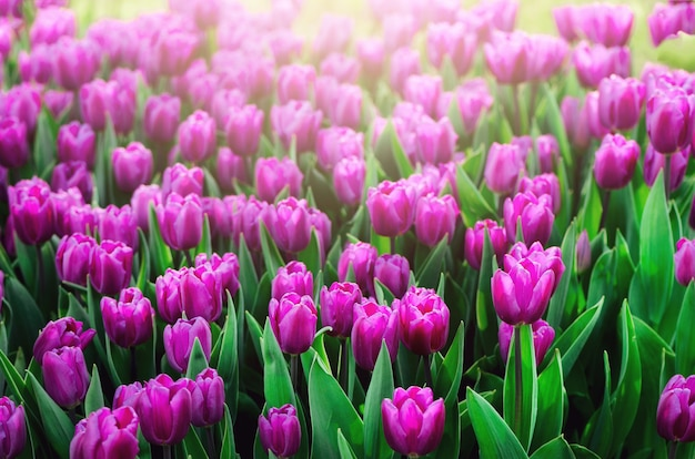 Fond de tulipes violet, violet, lilas. concept d'été et de printemps, espace de copie.