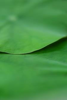 Fond vert de la feuille de lotus par prise de vue avec mise au point sélective