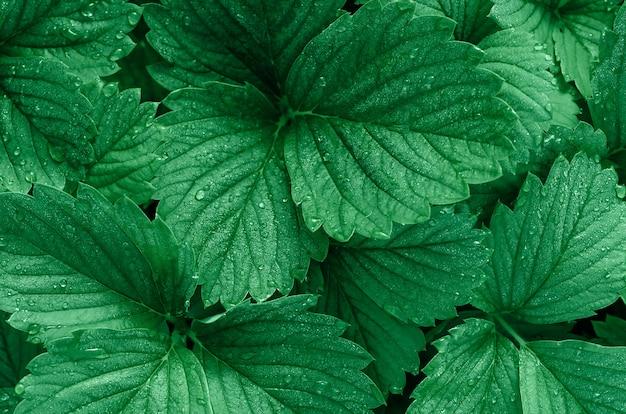 Fond vert des feuilles de fraise. des gouttes de rosée sur les feuilles. couleur à la mode.
