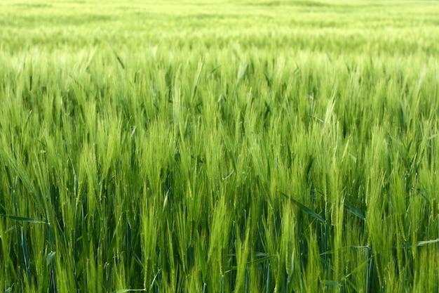 Fond vert d'herbe verte vive du pré