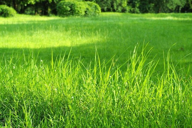 Fond vert d'herbe verte