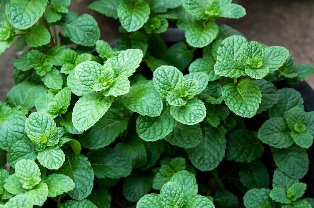 Fond vert naturel de feuilles de menthe