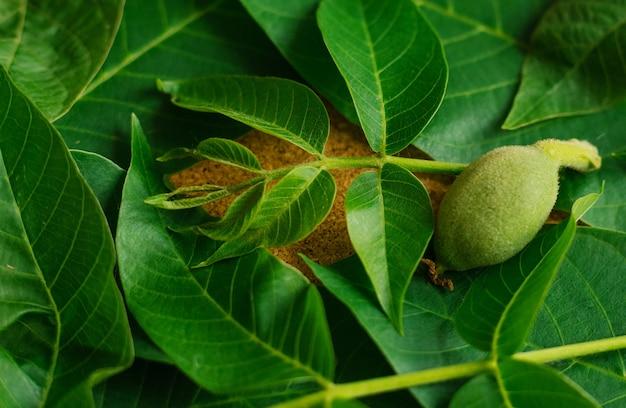 Fond vert et texture de feuille de noyer. une petite noix verte et de grandes feuilles raides.