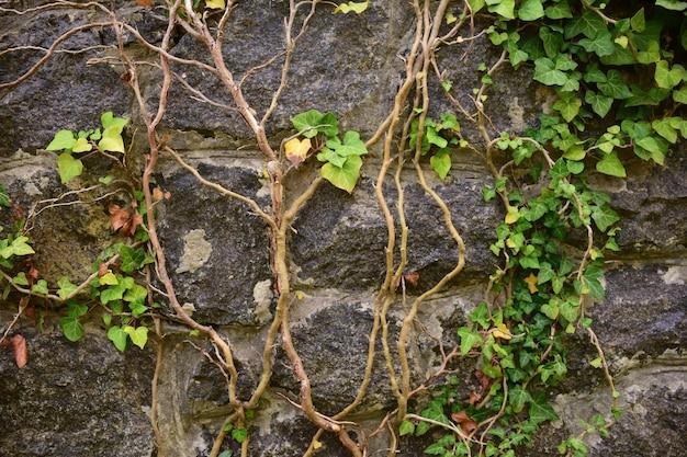 Fond de vieille maçonnerie, les feuilles de vigne sont tissées dans le coin supérieur droit