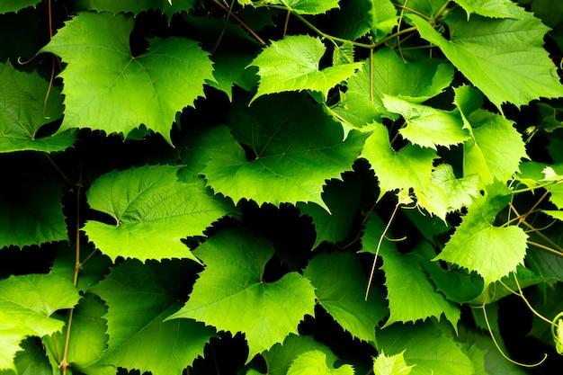Fond de vigne vert foncé. belles feuilles de vigne. texture générale de lierre.