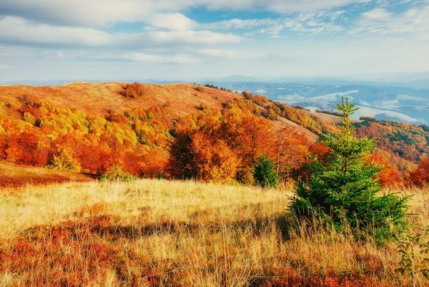 Forêt en après-midi ensoleillé pendant la saison d'automne. carpates. ukra