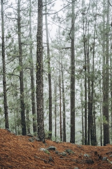 Forêt avec des arbres dans le brouillard du matin.