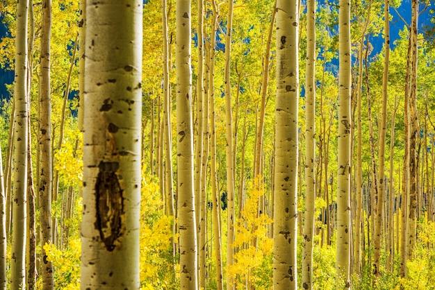 Forêt d'aspen trees