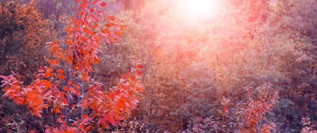 Forêt d'automne avec des arbres rouges pendant le coucher du soleil, fond d'automne