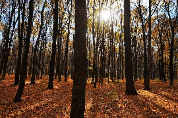 Forêt d'automne avec arbres soleil et feuilles jaunes