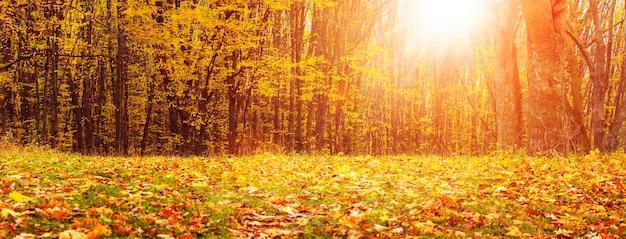 Forêt d'automne avec des feuilles jaunes sur les arbres et des feuilles sèches tombées sur le sol pendant le coucher du soleil. automne doré