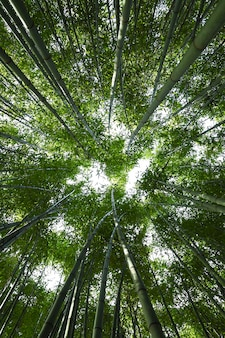 Foret de bambou.