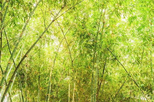 Forêt de bambous au soleil