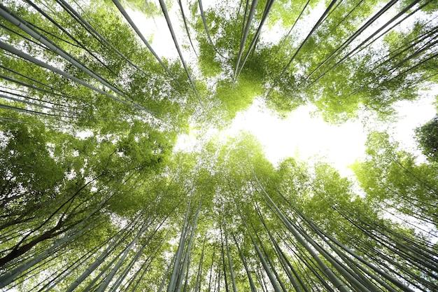 Forêt de bambous, bambou japonais à kyoto