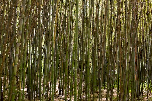 Forêt de bambous botaniques à la lumière du jour