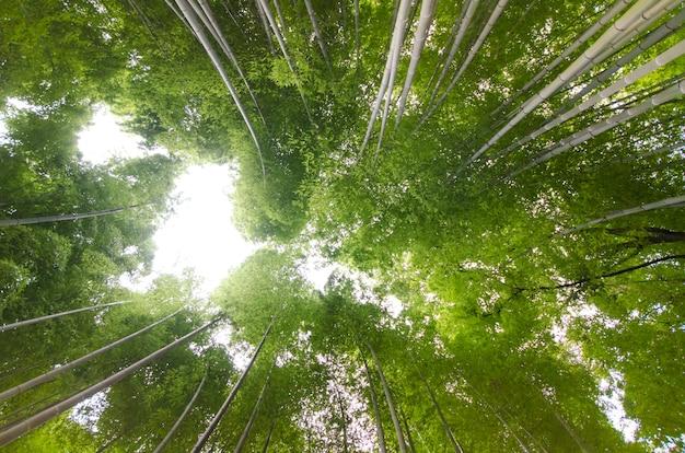 Forêt de bambous célèbre à kyoto au japon