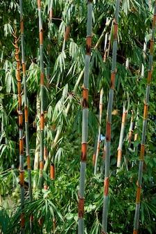 Forêt de bambous, chiang dao, province de chiang mai, thaïlande