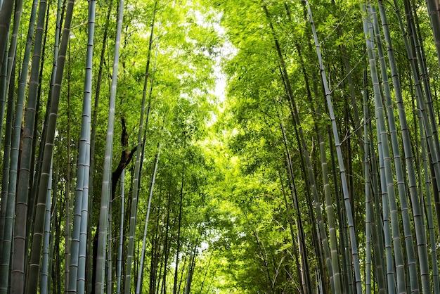 Forêt de bosquet de bambou à arashiyama pour le fond de la nature
