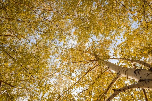Forêt de bouleaux vue vers le ciel, nature en automne. vue de dessous