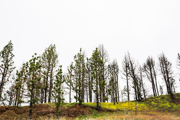 Forêt brûlée dans le parc naturel de la caldera de taburiente, l'île de la palma, canary islands, spain
