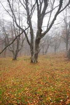 Forêt brumeuse d'automne avec des feuilles tombées.