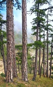 Forêt brumeuse d'été de pins sur la colline