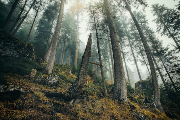Forêt brumeuse avec de longs pins et herbe jaune en saison d'automne