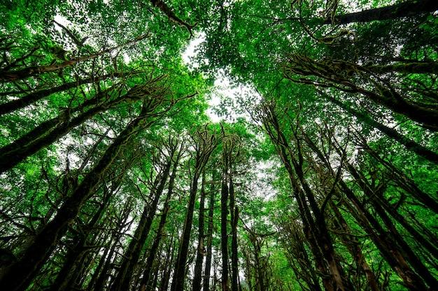 Forêt de buis. rize - turquie
