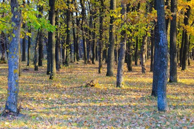 Forêt de chênes en automne