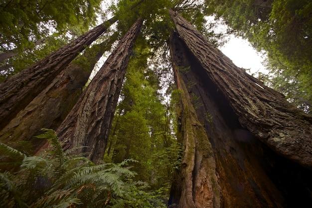 Forêt coastal redwood