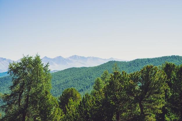Forêt de conifères contre des collines avec un couvert forestier sous des montagnes géantes et des glaciers. crête enneigée sous un ciel bleu clair. sommet de neige dans les hautes terres. incroyable paysage de montagne atmosphérique.
