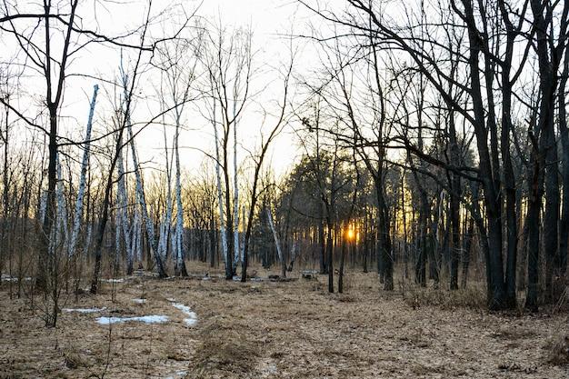 Forêt de conifères éclairée par le soleil du soir un jour de printemps. coucher de soleil. début du printemps.