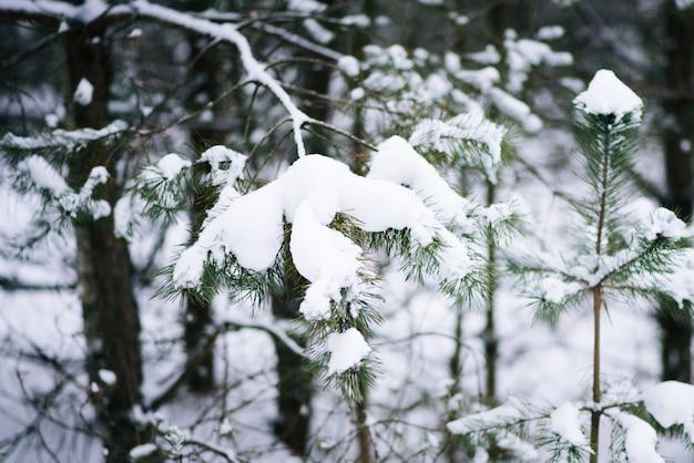 Forêt dans le gel. paysage d'hiver. arbres couverts de neige