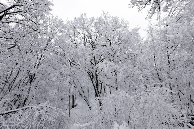 Forêt dans la neige blanche