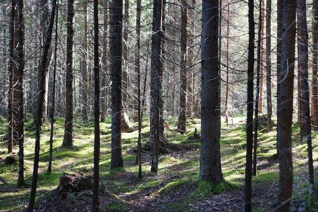 Forêt dense, éclairée par les rayons du soleil, branches entrelacées, le sol est recouvert de mousse verte, l'été