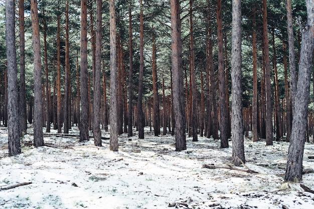 Forêt dense avec de grands arbres en hiver