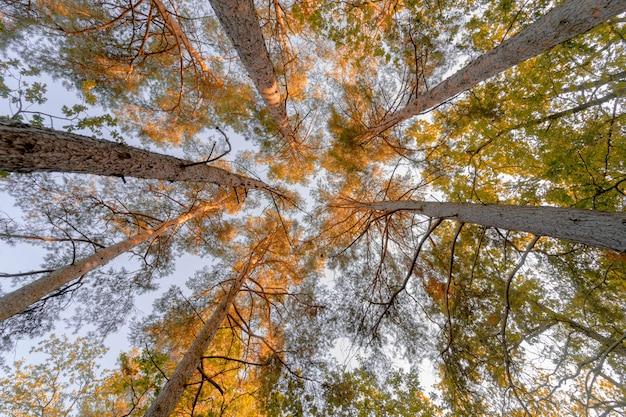 Forêt droite, étendue dans une belle couleur or.