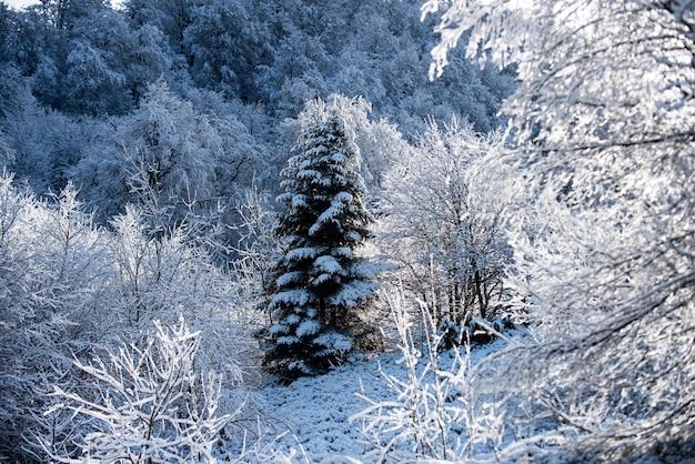 Forêt enneigée hiver paysage de neige montagnes enneigées hiver en forêt
