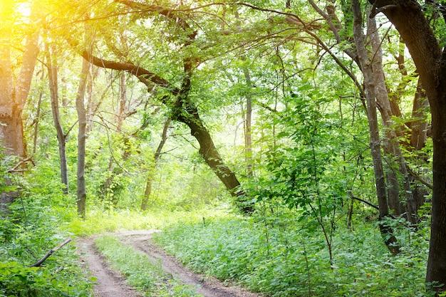 Forêt ensoleillée de printemps, route de forêt ensoleillée de printemps