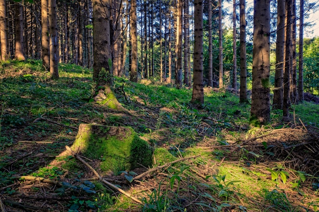 Forêt d'épicéas, slovénie
