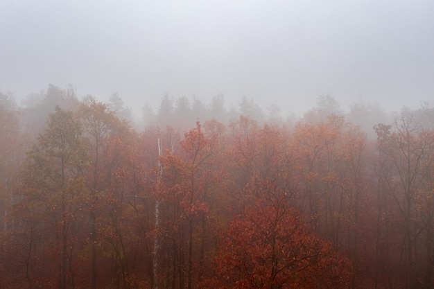 Forêt de feuillus colorés d'automne brumeux. forêt dense tôt le matin