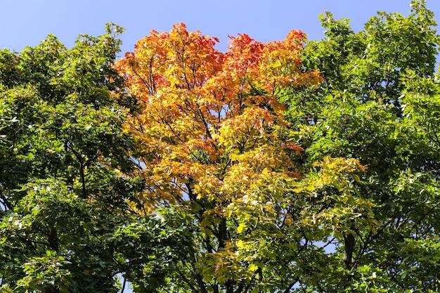 Forêt de feuillus lors de la chute des feuilles en automne et sur les érables, la couleur du feuillage passe au jaune et à l'orange