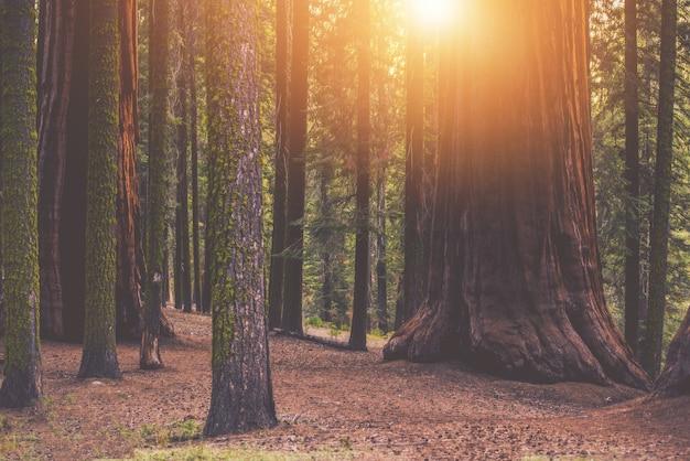 Forêt forestière de séquoia géante