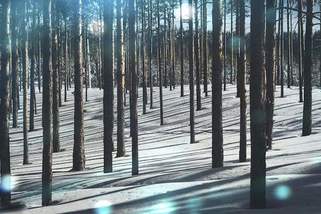 Forêt froide en hiver, pure forêt de pins par temps ensoleillé