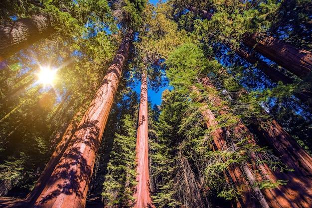 Forêt géante des séquoques
