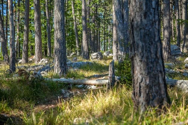 Forêt avec de grands arbres et plantes denses dans le karst, slovénie