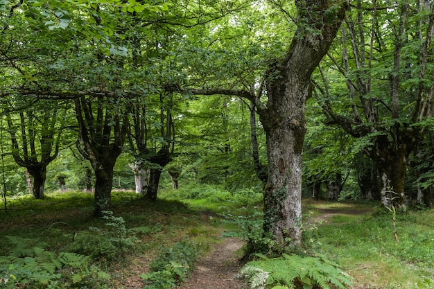 Forêt de hêtres et feuillage dense dans un paysage vert profond
