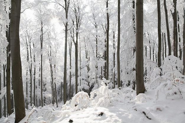 Forêt de hêtres d'hiver sur un matin ensoleillé glacial