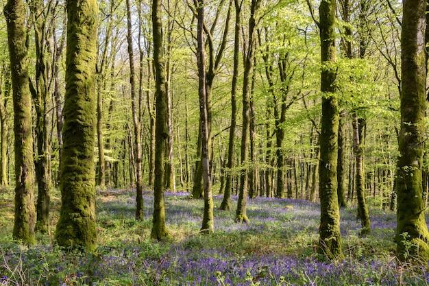 Forêt de hêtres millagnmeen dans la lumière chaude du printemps avec des fleurs de jacinthes des bois.
